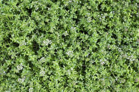 Thyme plant background. Green thyme leaves pattern