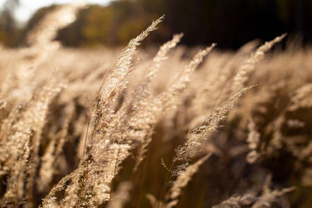 Close up grass on mountain in the evening. Tall dry grass. Autumn background Archivio Fotografico