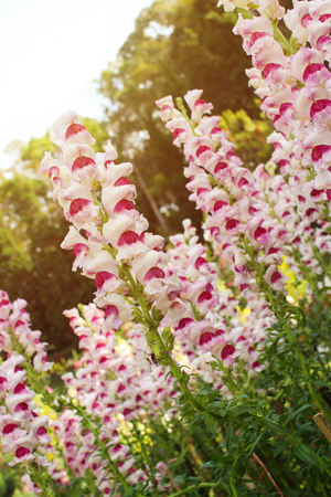 Pink and white snapdragon flowers in garden stock photo picture and pink and white snapdragon flowers in garden stock photo 94033356 mightylinksfo