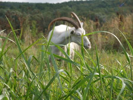gramma: Grass with a goat on background
