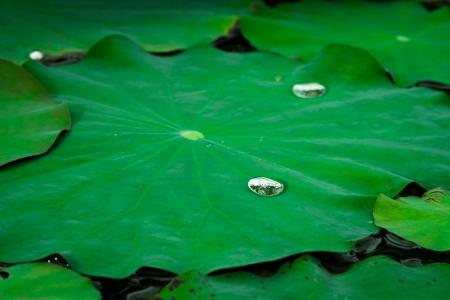 Tautropfen auf dem Lotusblatt