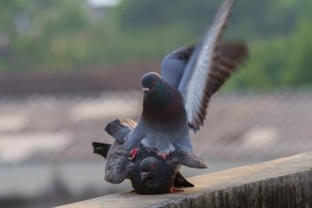 Tauben Zucht