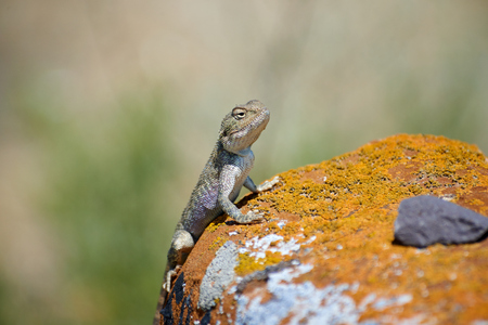 Agama lizard. Agama is the name of the genus of the group of small, long-tailed, insectivorous lizards, and the common name of these lizards. Stock Photo