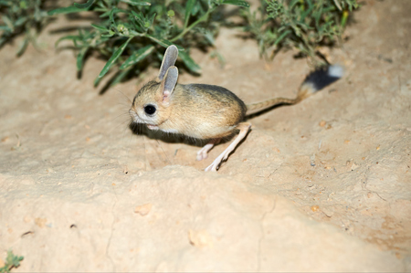 Jerboa / Jaculus. The jerboa are a steppe animal and lead a nocturnal life. Jerboas are hopping desert rodents found in Northern Africa and Asia east to northern China and Manchuria. They tend to live in hot deserts. Stock Photo - 90615583
