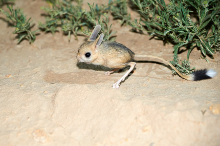 Jerboa  Jaculus. The jerboa are a steppe animal and lead a nocturnal life. Jerboas are hopping desert rodents found in Northern Africa and Asia east to northern China and Manchuria. They tend to live in hot deserts.