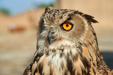 올빼미. 올빼미는 Strigiformes 계통의 새이며 주로 약 200 종의 독방 및 야행성 조류를 포함합니다. 올빼미는 주로 작은 포유류, 곤충 및 다른 새를 사냥합 스톡 콘텐츠