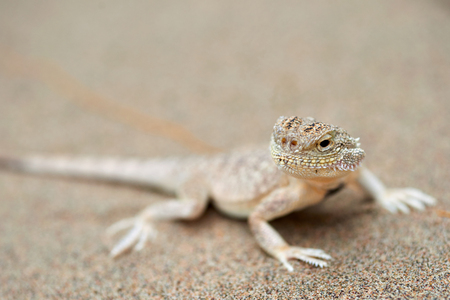 Phrynocephalus mystaceus. Phrynocephalus mystaceus is a species of agamid lizard.