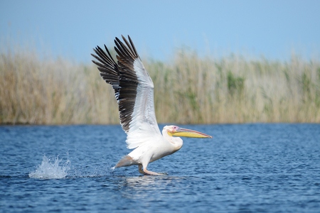 Pelican. Pelicans are a genus of large water birds that make up the family Pelecanidae. They are characterized by a long beak and a large throat pouch used for catching fishing.