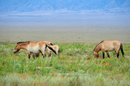 Przewalski horses in the Altyn Emel National Park in Kazakhstan. The Przewalskis horse or Dzungarian horse, is a rare and endangered subspecies of a wild horse. The Przewalskis horse has never been domesticated and remains the only true wild horse in the world today. Stock Photo