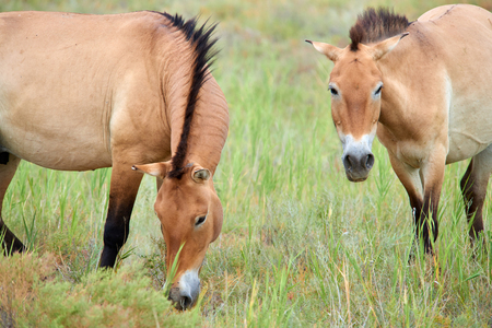 Przewalski horses in the Altyn Emel National Park in Kazakhstan.
