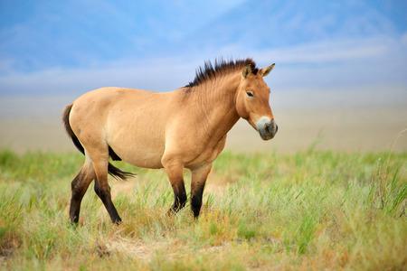 Caballos Przewalski en el Parque Nacional Altyn Emel en Kazajstán. El caballo de Przewalski o el caballo de Dzungarian, es una subespecie rara y en peligro de extinción de un caballo salvaje. El caballo de Przewalski nunca ha sido domesticado y sigue siendo el único caballo salvaje verdadero en el mundo de hoy.
