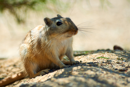 The great gerbil (Rhombomys opimus). The great gerbil is a large gerbil found for much of Central Asia.