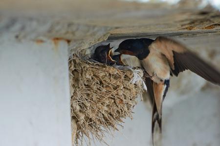 Nido di rondini. Le rondini e i martins, o Hirundinidae, appartengono alla famiglia degli uccelli passeriformi.