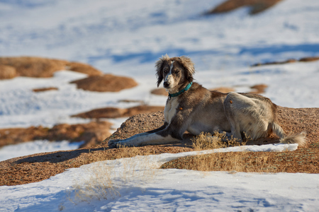 The Tazy, or the Central Asian greyhound, or the Kazakh greyhound, or the Turkmen greyhound, are a breed of hunting dogs. The Tazy is a dog breed from the Central Asian Republics recognized by the Kynological Federation and the Kazakh Cynologists Association. Stock Photo