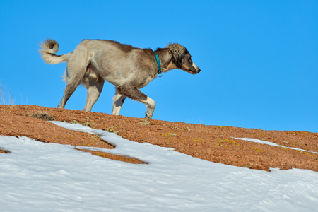 The Tazy, or the Central Asian greyhound, or the Kazakh greyhound, or the Turkmen greyhound, are a breed of hunting dogs.