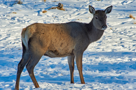 Deer. Wild animals of Kazakhstan. Deer are the ruminant mammals forming the family Cervidae. The two main groups are the Cervinae, including the muntjac, the fallow deer and the chital, and the Capreolinae, including the elk, reindeer, the Western roe deer, and the moose.