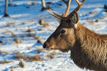 Deer. Wild animals of Kazakhstan. Deer are the ruminant mammals forming the family Cervidae.