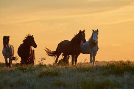 Horses graze on pasture at sunset. The horse (Equus ferus caballus) is one of the two extant subspecies of Equus ferus. It is an odd-toed ungulate mammal to the taxonomic family Equidae. Pasture lands in the narrow sense are enclosed tracts of farmland, grazed by domesticated livestock, such as horses, cattle, sheep or swine. Stock Photo