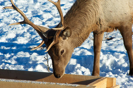 Deer. Wild animals of Kazakhstan. The red deer (Cervus elaphus) is one of the largest deer species. Deer are the ruminant mammals forming the family Cervidae.