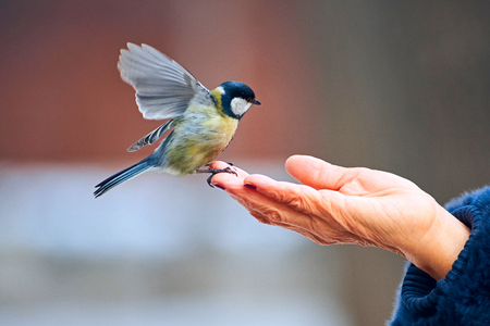 Feeding the great tit by hand. The great tit (parus major) is a passerine bird in the tit family paridae. It is a widespread and common species throughout Europe, Central and Northern Asia, and parts of North Africa. Imagens