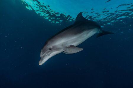 Dolphin swimming in the Red Sea, Eilat Israel Foto de archivo