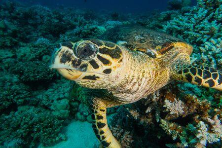 Hawksbill sea turtle in the Red Sea, dahab, blue lagoon sinai