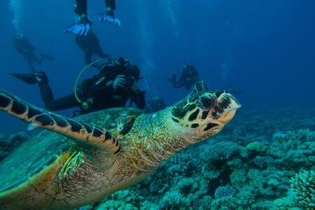 Tortuga carey en el Mar Rojo, Dahab, Blue Lagoon Sinai