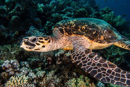 Karettschildkröte im Roten Meer, Dahab, blaue Lagune Sinai