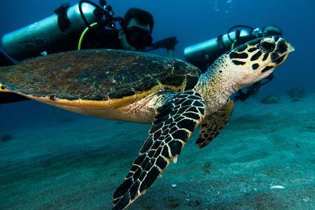 Sea turtle in the Red Sea, dahab, blue lagoon sinai Stock Photo