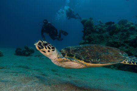 Sea turtle in the Red Sea, dahab, blue lagoon sinai