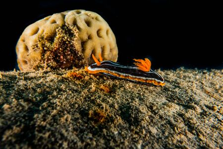 Sea slug in the Red Sea Colorful and beautiful, Eilat Israel Standard-Bild