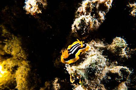 Sea slug in the Red Sea, Eilat Israel