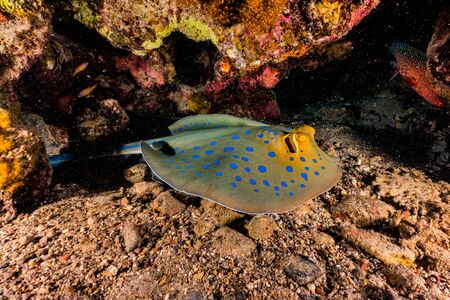 Blue spotted stingray On the seabed in the Red Sea Banque d'images