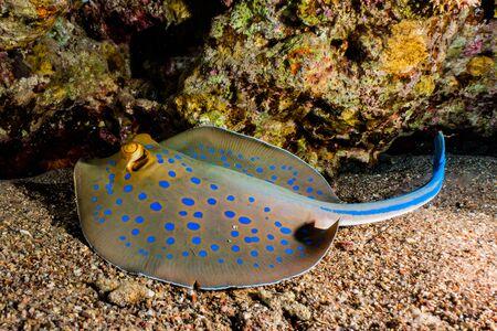 Stingray à points bleus sur les fonds marins de la mer Rouge