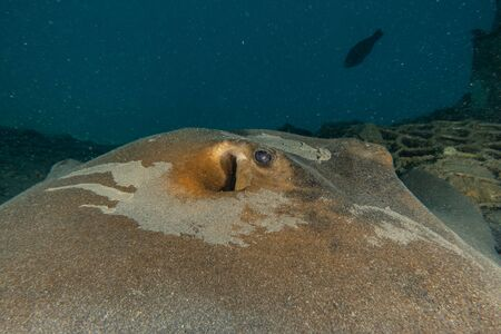 Blaupunktrochen Auf dem Meeresboden im Roten Meer