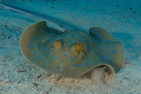 Blaupunktrochen Auf dem Meeresboden im Roten Meer Standard-Bild