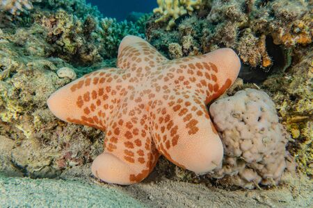Starfish On the seabed in the Red Sea, eilat israel