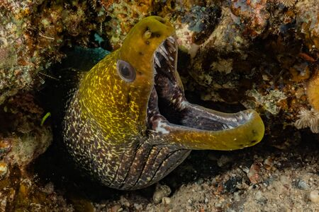 Moray eel Mooray lycodontis undulatus in the Red Sea, eilat israel