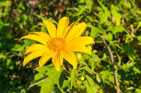 tree marigold: Tree marigold, Mexican tournesol, Mexican sunflower Stock Photo