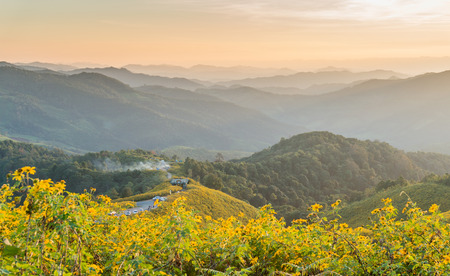 tree marigold: Tree marigold with Tung Bua Tong background