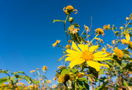 tree marigold: Tree marigold with blu sky backgound, Mexican tournesol, Mexican sunflower