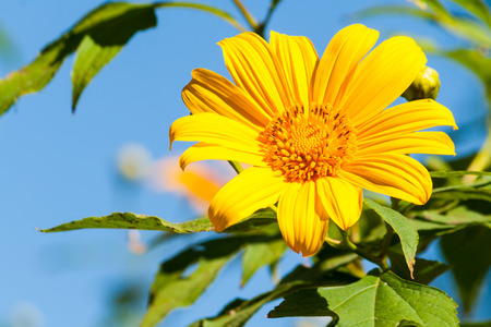 tree marigold: Tree marigold with bee, Mexican tournesol, Mexican sunflower with blue sky background.