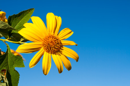 Tree marigold with bee, Mexican tournesol, Mexican sunflower with blue sky background. photo