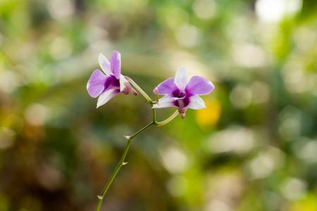 orchidea: Purple orchid flower, selective focus with blur background