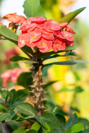 corona de espinas: Corona rosada de la flor de espinas