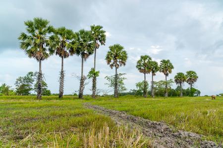 palmyra palm: rice field with palmyra palm background Stock Photo