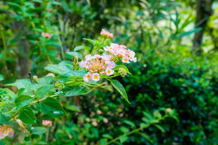 lantana camara: Summer flowers series, beautiful Lantana camara