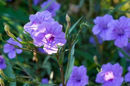 acanthaceae: ACANTHACEAE,Hygroph ila erecta Burm.Hochr.