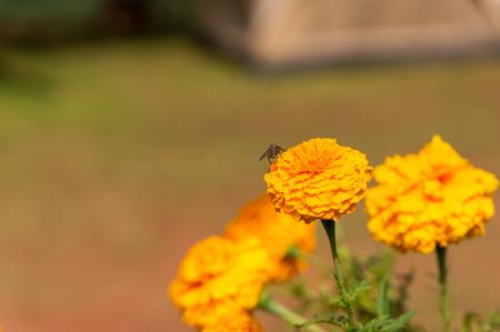 officinalis: Marigold Calendula officinalis