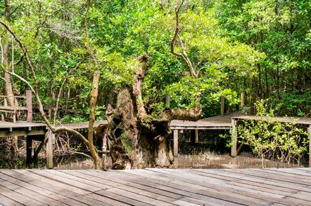raíz de planta: Ruta de los bosques de manglares en la bahía de Kung Krabaen provincia de Chanthaburi, Tailandia